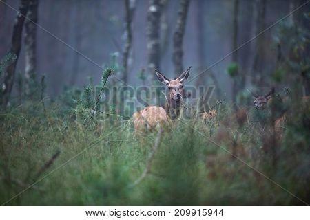 Red Deer Doe (cervus Elaphus) In High Grass In Misty Forest.