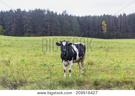 Belarus - cow eats grass, cow on pasture, pasture near a farm, pasture in a meadow