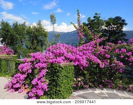 Path beauty pink flowers exotic plants at Brissago island in Switzerland scenic alpine view on swiss Maggiore Lake near Ascona city clear blue sky in 2017 warm sunny summer day Europe on July.