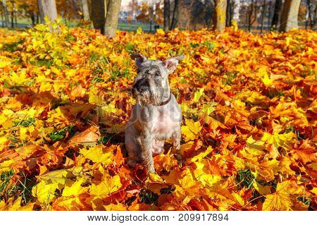 Miniature Schnauzer on a background of yellow leaves in an autumn park.