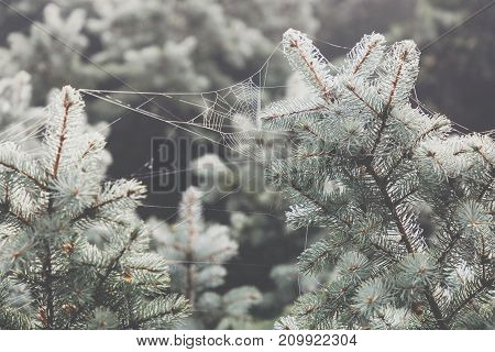 Macro View Of Needles Of Pine Branches With A Ramshackle Background. Spider's Web On A Branch.