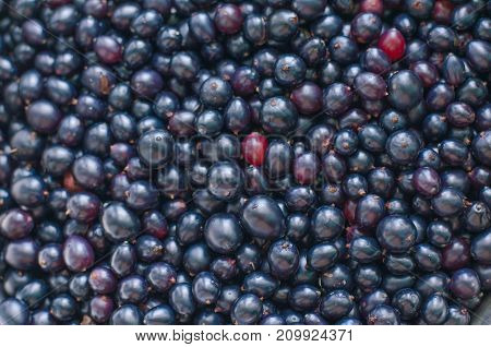 Currant Black, White And Red. Ecological Berries For Desserts, Smoothie Or Jam. Currant Organic Berr