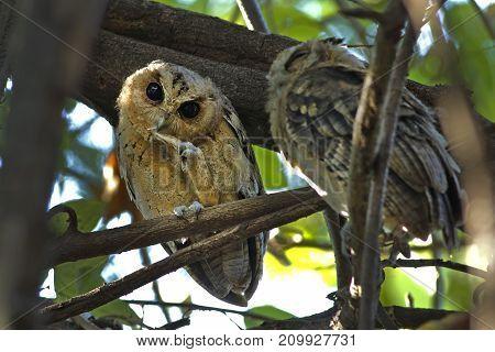 Collared Scops Owl Otus Sagittatus Cute Birds Of Thailand