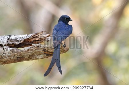 Black Drongo Dicrurus Macrocercus Beautiful Birds Of Thailand