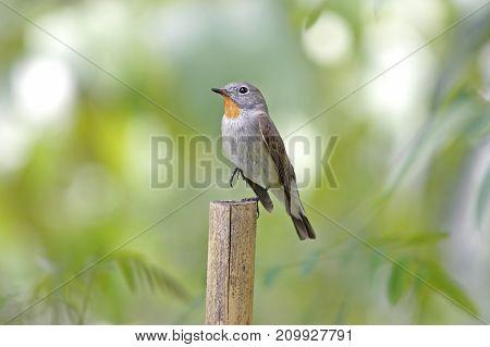 Taiga Flycatcher Ficedula Albicilla Beautiful Male Birds Of Thailand