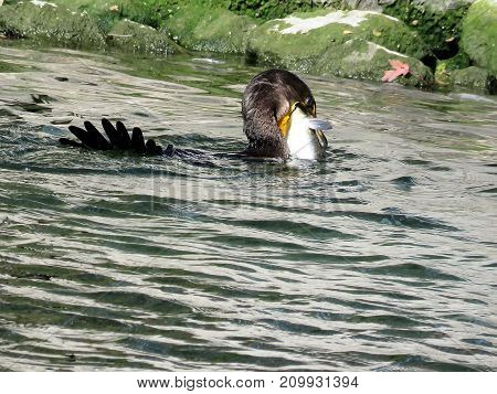 The cormorant with its catch on the Lake Ontario in Humber Bay Park of Toronto Canada October 17 2017