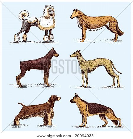 dog breeds engraved, hand drawn vector illustration in woodcut scratchboard style, vintage drawing species. pug and setter, poodle with spitz, springer spaniel whippet hound doberman, shepherd
