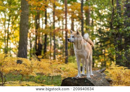 Japanese Dog Akita Inu in autumn forest.