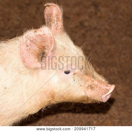 portrait of a pig on a farm