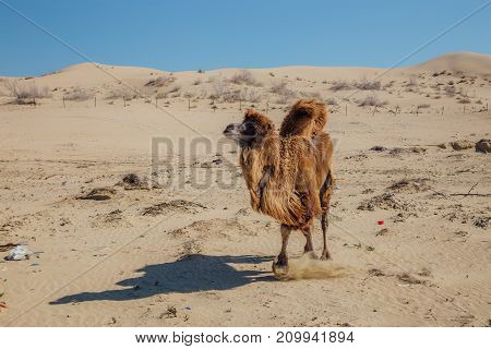 Running domestic brown bactrian two-humped camel in desert of Kazakhstan