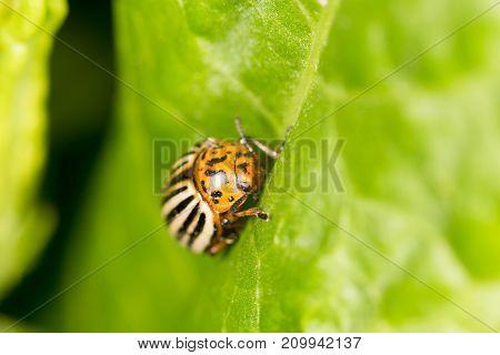 Colorado potato beetle on a green leaf. close