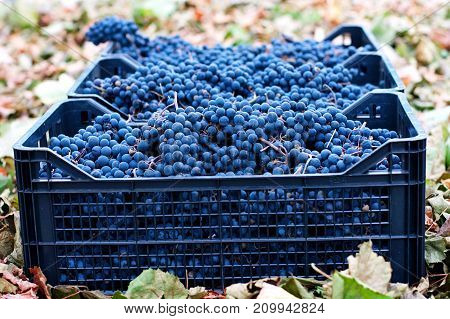 Blue Grapes For Winemaking. Grapes On A Branch. Grapes In Baskets Of Blue Grapes Recently Harvested