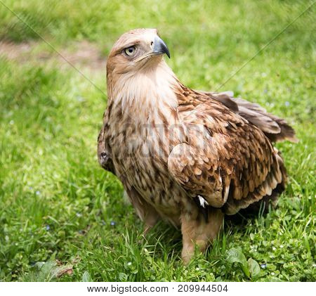 Portrait of an eagle on a background of green grass