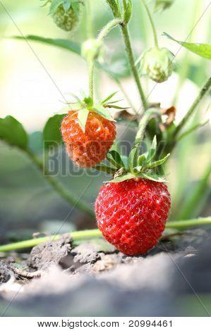 strawberry in the garden