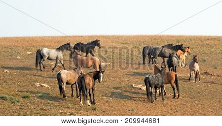 Small Herds - Bands Of Wild Horses On Hillside In The Pryor Mountains Wild Horse Range In Montana Un