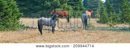 Herd Of Wild Horses In The Pryor Mountains Wild Horse Range In Montana United States