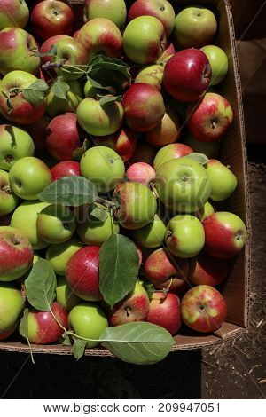 Boxful of sunlit heritage apples freshly picked from 100 year old apple trees, bright green and red, to be used for making cider.