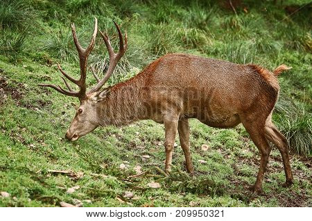 Deer Grazing On The Grass