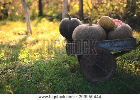 Pumpkins harvest on an old wooden cart