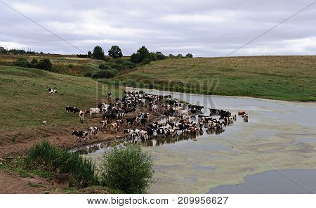 A herd of cows drinks from the lake next to the pasture