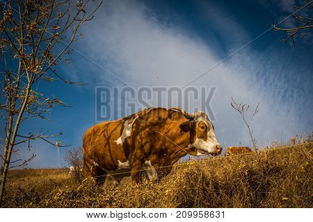 Cow Pasture In The Mountains At Autumn