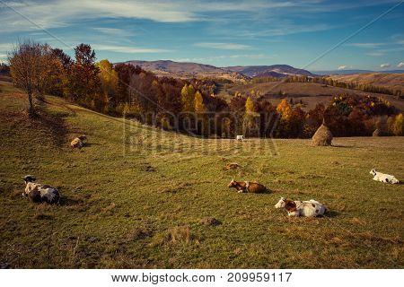 Cows Pasture In The Mountains At Autumn