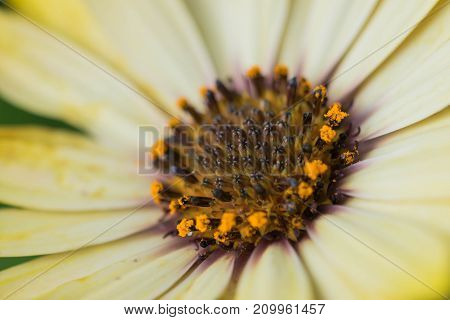 Closeup photo of yellow daisy with green blurred background.