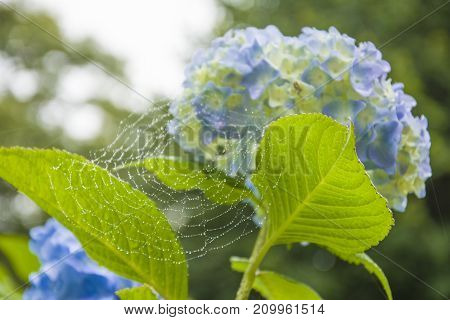 Web with dew on a blue hydrangea