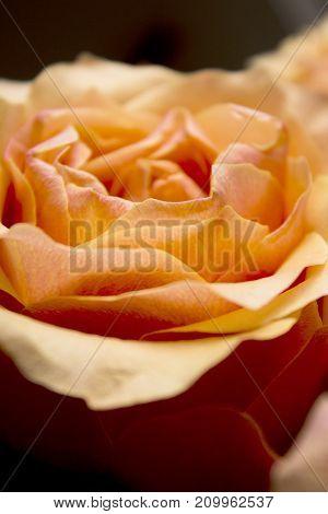 Open orange flower of the family of roses