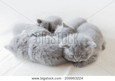 Group of young sleeping pretty kittens laying together. British shorthair cats.