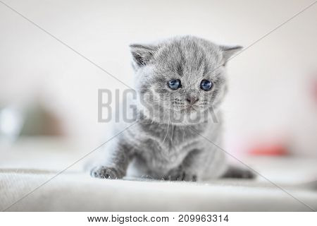 Cute kitten sitting on bed in home. British Shorthair cat.