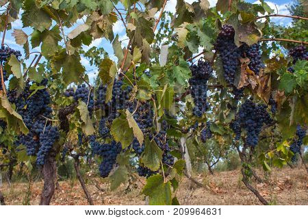 Red Grape Fruit On A Vine In A Vineyard, Nature Background