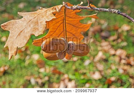 Oak twig with dry leaves and ripened acorns on a sunny autumn day