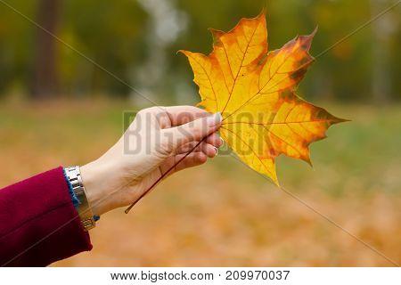 Orange leaf in female hand background of nature autumn