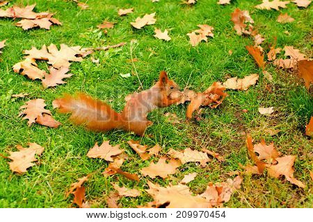 Orange leaves of a squirrel with nuts nature background of autumn