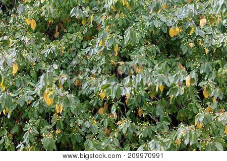 Green and yellow foliage of a bush with berries in the early autumn, texture, leaf nature background.