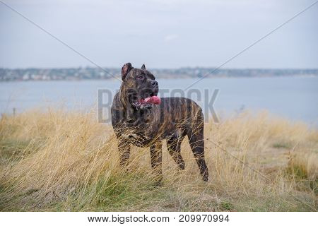 A big dark pitbull walking outdoors. Cute dog having fun on the street. River on the background. Close-up of dog. Animal concept.