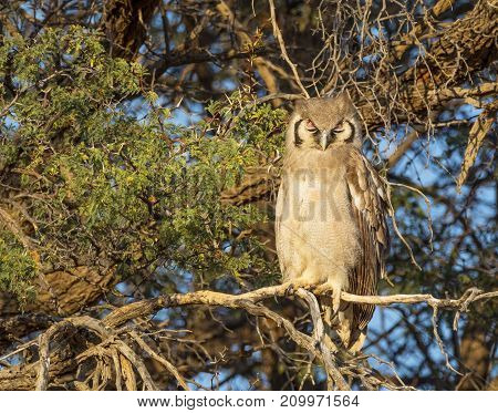 A Verreaux's or Giant Eagle Owl in the Kgalagadi Transfrontier Park straddling South Africa and Botswana.