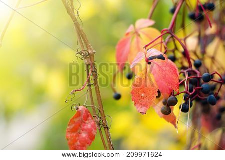Red leaves on a blurred nature background autumn
