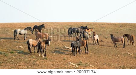 Small herds - bands of wild horses on hillside in the Pryor Mountains Wild Horse Range in Montana United States
