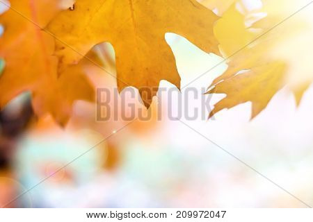 Orange leaves on a blurred nature background autumn