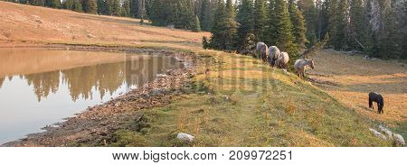 Small herds of wild horses at the grassy edge of a waterhole in the Pryor Mountains Wild Horse Range in Montana United States