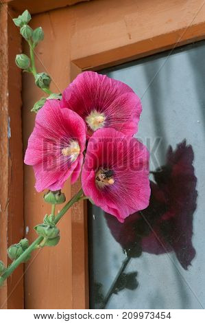 Three red flowers with yellow means on a high curved green stalk near the window of a rustic little house.
