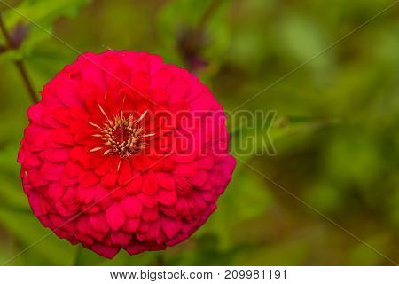 Closeup Of Red Chrysanthemum
