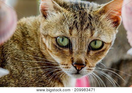Thailand cute cat resting habits of cute pets. Cat breeds Thailand