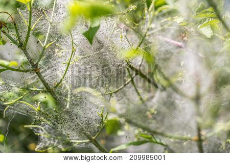 detail of a plant covered with ermine moth web with caterpillars at spring time