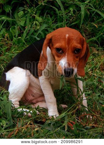 A beagle puppy sitting in outside eating grass