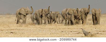 elephants testing air for predators, herd in natural surrounding