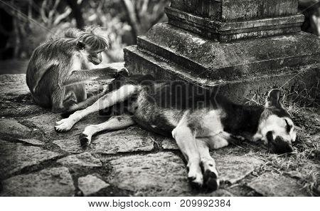 Monkey grooming a dog in a Sri Lankan temple