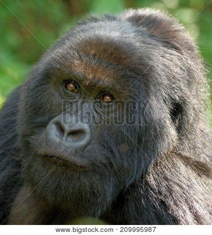 Mountain Gorilla, Mountains in Rwanda, nature close encounters